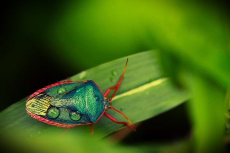 Costa Rica stink bug - photo by Katie Schuler